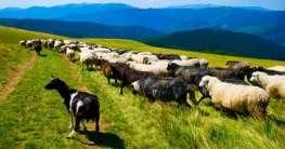 Schafe in der Tierra de Cameros